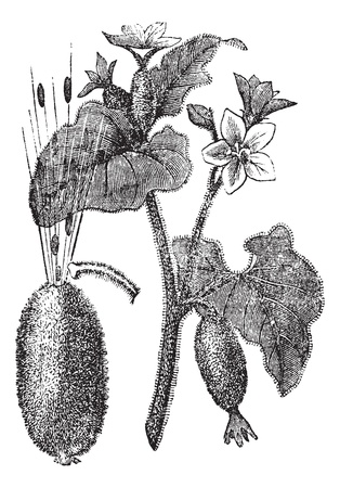 herbology: Squirting Cucumber or Exploding Cucumber or Ecballium elaterium, vintage engraving. Old engraved illustration of a Squirting Cucumber showing flowers (top) and seeds squirting out of a ripened fruit (left).