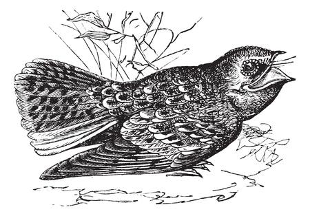 Chuck-will's-widow 또는 Caprimulgus carolinensis, 빈티지 조각. Chuck-wills-widow의 오래 된 새겨진 그림.