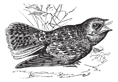 migrate: Chuck-wills-widow or Caprimulgus carolinensis, vintage engraving. Old engraved illustration of a Chuck-wills-widow.