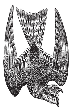 Nighthawk or Nyctiprogne sp. or Lurocalis sp. or Chordeiles sp. or Podager nacunda, vintage engraving. Old engraved illustration of a Nighthawk. Vector