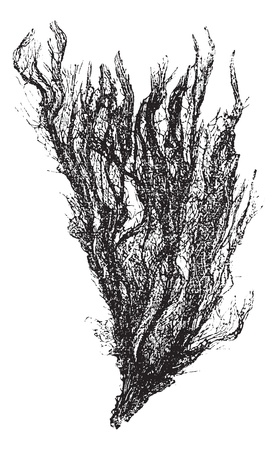 Gutweed and Grass Kelp or Ulva intestinalis, vintage engraving. Old engraved illustration of a Gutweed. Ilustracja