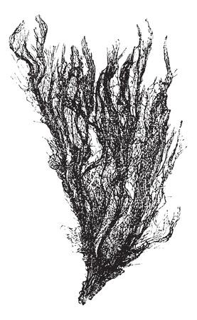 alga marina: Gutweed y la hierba o alga Ulva intestinalis, el grabado de la vendimia. Ilustración del Antiguo grabado de un Gutweed.