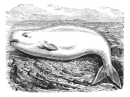 シロイルカまたは白クジラ アクアス イルカ、ヴィンテージの彫刻。古いは、ベルーガの図を刻まれています。