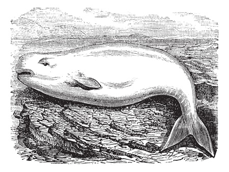fins: Beluga Whale or White Whale or Delphinapterus leucas, vintage engraving. Old engraved illustration of a Beluga.