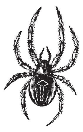 一般的な球体編むくもまたは共通 Epeira または Araneus sp.、ヴィンテージの彫刻。古いは、一般的な球体編むくものイラストを刻まれています。  イラスト・ベクター素材