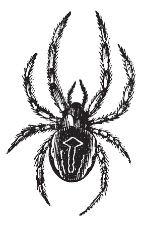 Common Orb-weaving Spider or Common Epeira or Araneus sp., vintage engraving. Old engraved illustration of Common Orb-weaving Spider. Ilustração