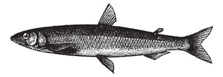 Smelt or European Smelt or Osmerus eperlanus, vintage engraving. Old engraved illustration of a Smelt.
