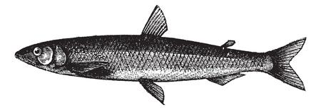 smelt: Smelt or European Smelt or Osmerus eperlanus, vintage engraving. Old engraved illustration of a Smelt.