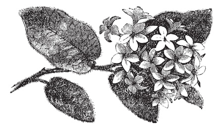 ericaceae: Mayflower o Trailing Arbutus o Epigaea repens, incisione vintage. Old illustrazione incisa di un Mayflower. Vettoriali