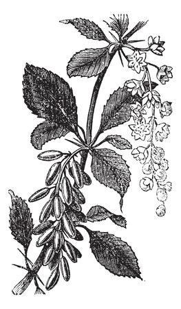 매자 또는 유럽, 매 또는 황달 베리 또는 Ambarbaris 또는 Berberis 심상 성, 포도 수확, 조각. 오래 된 꽃과 열매를 보여주는, 매 공장의 그림을 새겨 져있다.
