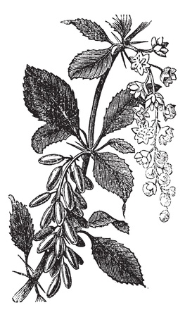 herbology: Barberry or European Barberry or Jaundice Berry or Ambarbaris or Berberis vulgaris, vintage engraving. Old engraved illustration of a Barberry plant showing flowers and berries.