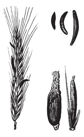 centeno: Centeno o Secale cereale, cosecha ilustraci�n grabada. Enciclopedia Trousset (1886 - 1891).