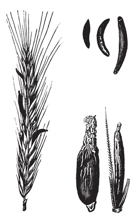 Rye or Secale cereale, vintage engraved illustration. Trousset encyclopedia (1886 - 1891). Ilustracja