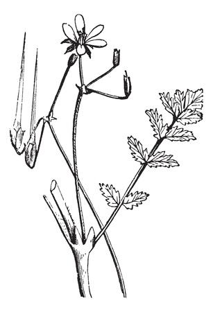 herbology: Common Storks-bill or Redstem Filaree or Erodium cicutarium, vintage engraving. Old engraved illustration of a Common Storks-bill showing long seed pod (upper left). Illustration