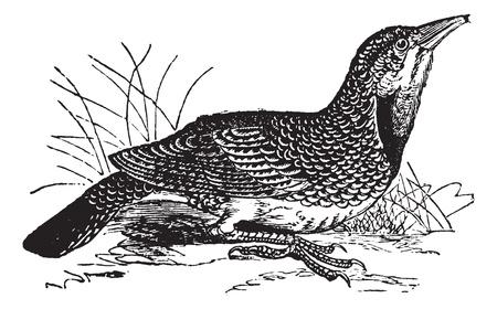 ornithological: Eastern Meadowlark or Sturnella magna, vintage engraving. Old engraved illustration of an Eastern Meadowlark. Illustration