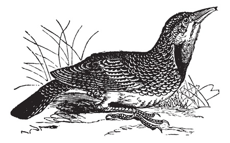 Eastern Meadowlark or Sturnella magna, vintage engraving. Old engraved illustration of an Eastern Meadowlark. Illustration