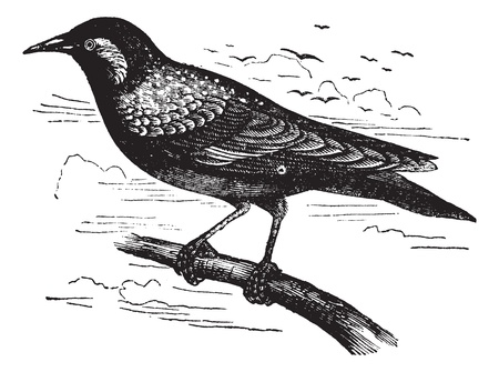 Common Starling or European Starling or Sturnus vulgaris, vintage engraving. Old engraved illustration of a Common Starling. Vector