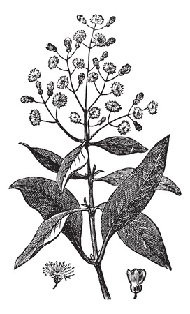 herbology: Allspice or Jamaica Pepper or Kurundu or Myrtle Pepper or Pimenta or Newspice or Pimenta dioica, vintage engraving. Old engraved illustration of an Allspice showing flowers and berry (lower right).