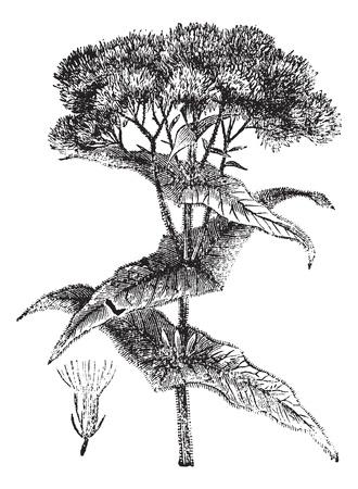plantas medicinales: Joe-Pye maleza o Eutrochium sp., Grabado de época. Ilustración del Antiguo grabado de una flor de malezas Joe-Pye muestra (inferior izquierda).