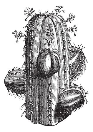 Euphorbia officinarum, vintage engraving. Old engraved illustration of a Euphorbia officinarum. Ilustração