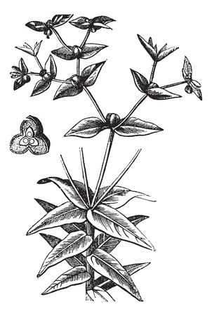 herbology: American Ipecac or Euphorbia ipecacuanhae, vintage engraving. Old engraved illustration of an American Ipecac showing seedpod (center left).