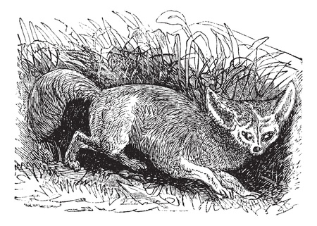 Bat-eared Fox or Otocyon megalotis, vintage engraving. Old engraved illustration of a Bat-eared Fox.