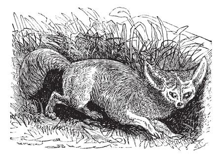 black fox: Bat-eared Fox or Otocyon megalotis, vintage engraving. Old engraved illustration of a Bat-eared Fox.