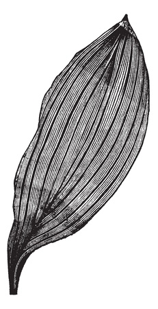 grass blades: Parallel-veined Leaf, vintage engraving. Old engraved illustration of a Parallel-veined Leaf.