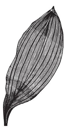 grass blades: Parallel-veined Leaf, vintage engraving. Old engraved illustration of a Parallel-veined Leaf.