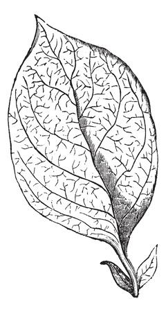 dicot: Reticulate-veined Leaf, vintage engraving. Old engraved illustration of a Reticulate-veined Leaf. Illustration