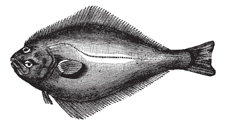 Flétan de l'Atlantique ou Hippoglossus hippoglossus, gravure millésime. Vieux illustration gravée d'un flétan de l'Atlantique. Banque d'images - 13770256