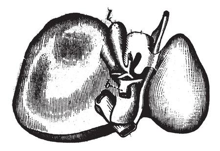 higado humano: Hígado humano, cosecha ilustración grabada. Enciclopedia Trousset (1886 - 1891).