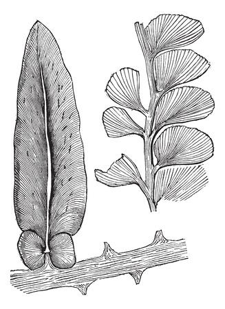 carboniferous: Neuropteris and Adiantites, vintage engraving. Old engraved illustration of Neuropteris and Adiantites, both extinct seed ferns. Illustration