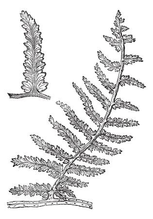 carboniferous: Sphenopteris, vintage engraving. Old engraved illustration of Sphenopteris, an extinct seed fern.