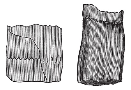 Calamites Fossil, vintage engraved illustration. Trousset encyclopedia (1886 - 1891).