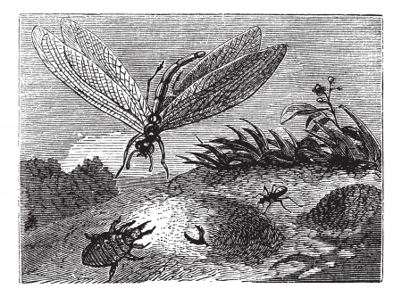 Antlion or Myrmeleontidae, vintage engraving. Old engraved illustration of an Antlion.
