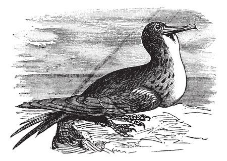 Great Frigatebird or Fregata minor, vintage engraving. Old engraved illustration of Great Frigatebird. Stock Vector - 13771551