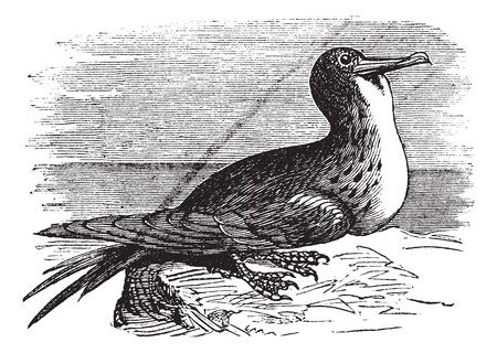 minor: Great Frigatebird or Fregata minor, vintage engraving. Old engraved illustration of Great Frigatebird. Illustration