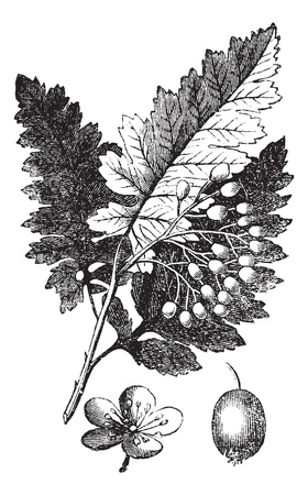 White Ash or Fraxinus Americana or American Ash, vintage engraving. Old engraved illustration of White Ash, isolated on a white background.  Vector