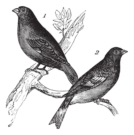 with two: Brambling or Fringilla montifringilla and Carduelis chloris or European Greenfinch , vintage engraving. Old engraved illustration of Brambling (1) and European Greenfinch (2), waiting on a branch. Illustration