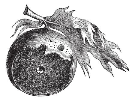 infectious: Gall de un roble y la forma de los escapes de los insectos, el grabado de la vendimia. Ilustraci�n del Antiguo grabado de la rozadura de un roble con el gusano infecciosa y la forma de su huida, aisladas sobre un fondo blanco. Vectores