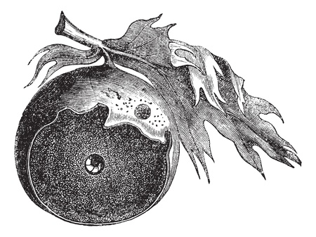 galla: Gall di una quercia e il modo di fughe di insetti, incisione vintage. Old illustrazione incisa Gall di una quercia con vite senza fine infettiva e il modo della sua fuga, isolato su uno sfondo bianco.