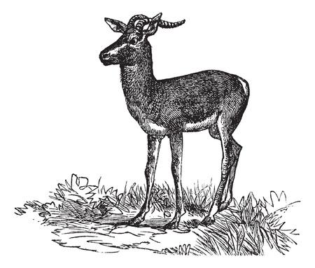 Soemmerrings Gazelle or Nanger soemmerringii or Gazella soemmerringii, vintage engraving. Old engraved illustration of Soemmerrings Gazelle in the meadow.