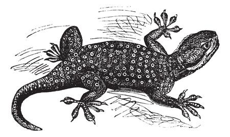 Fan-Sinaï doigts Gecko ou Ptyodactylus guttatus, gravure millésime. Vieux illustration gravée du Sinaï Fan-doigts Gecko. Banque d'images - 13770351