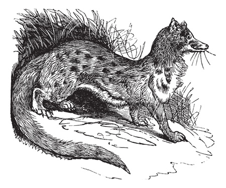 Rusty-spotted Genet or Genetta maculata or Panther Genet, vintage engraving. Old engraved illustration of Rusty-spotted Genet in the meadow.  Ilustração