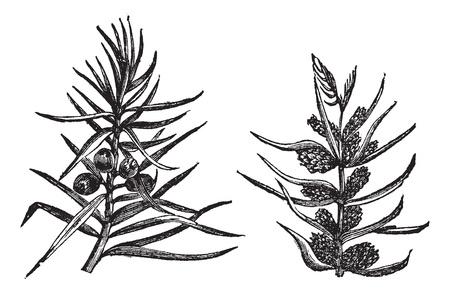 ジュニパー、ヴィンテージの彫刻。ジュニパーの古い彫刻が施された図軸受の果物や花、白い背景で隔離の枝します。