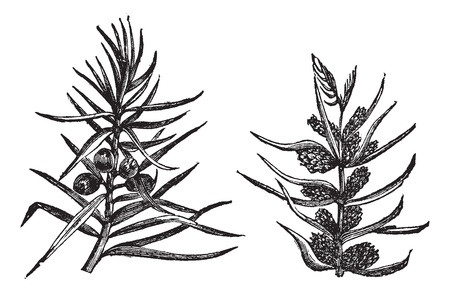 Juniper, vintage engraving. Old engraved illustration of Juniper, branches bearing fruits and flowers isolated on a white background.  Vector