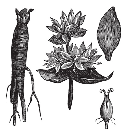 gentian flower: Great Yellow Gentian or Gentiana lutea or Yellow Gentian or Bitter Root or Bitterwort or Centiyane or Genciana, vintage engraving. Old engraved illustration of Great Yellow Gentian, flowers and leaves isolated on a white background. Illustration