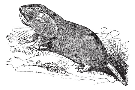 plains: Plains Pocket Gopher or Geomys bursarius or pocket gophers, vintage engraving. Old engraved illustration of Plains Pocket Gopher, running in the meadow.