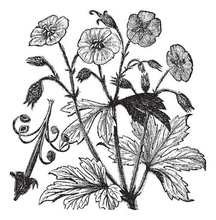 Geranio Geranio manchado o maculatum o Geranio de madera o de geranio o de geranio manchado o de Raíz salvaje Cranesbill o el alumbre o Bloom alumbre o una copa de Old Maid, el grabado de la vendimia. Ilustración del Antiguo grabado de geranio manchado, aislado en un blanco de nuevo Foto de archivo - 13771578
